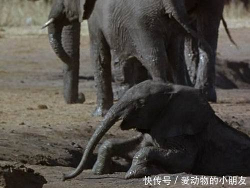 太残忍!水牛误伤小象,象群为了复仇竟合力将肇事方小水牛顶死!