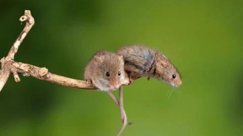 重磅!中国科学家成功让公鼠怀孕:顺利诞下10只健康幼崽