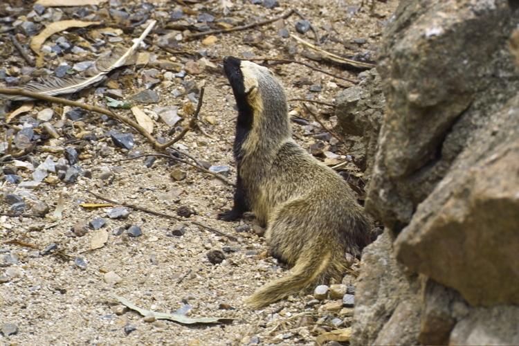 大多数巢鼬动物有明显的性双态性,平均雄兽可以比雌兽重25%.
