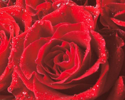 嘉名谁赠作玫瑰