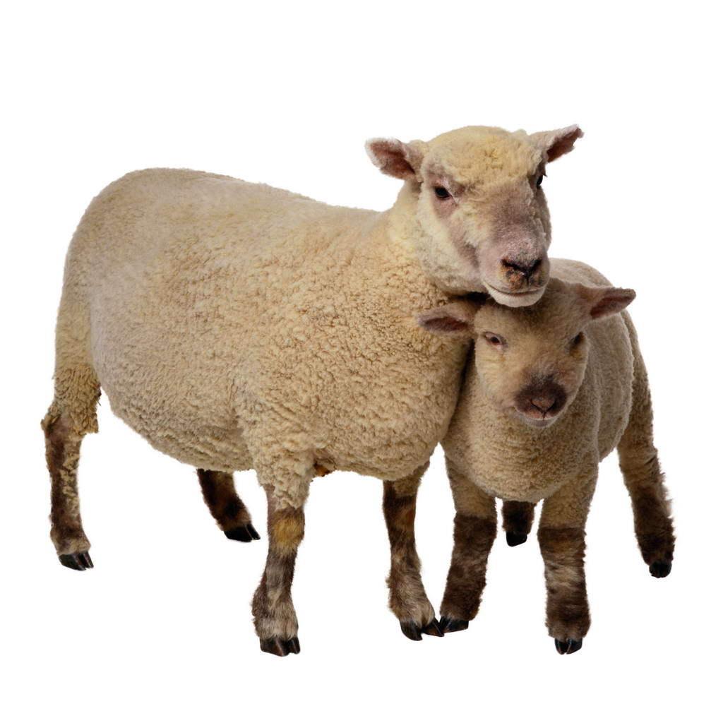 绵羊畜牧业是坤都镇的主导产业和优势产业