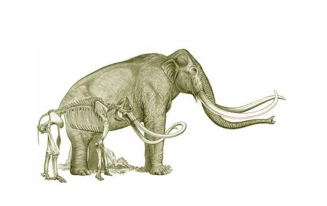而和其同时代生存的美洲乳齿象由于牙齿是低冠齿而不能适应草做食物.