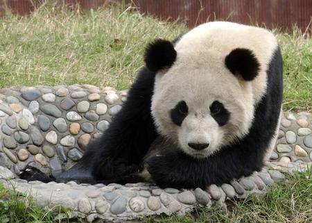 壁纸 大熊猫 动物 450_321
