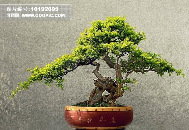 老壮红刺藤盆景