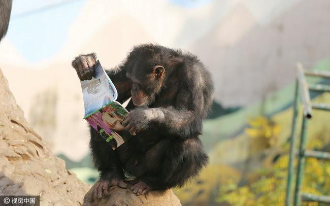 """野生动物园的黑猩猩看书""""充电"""" 让人汗颜"""