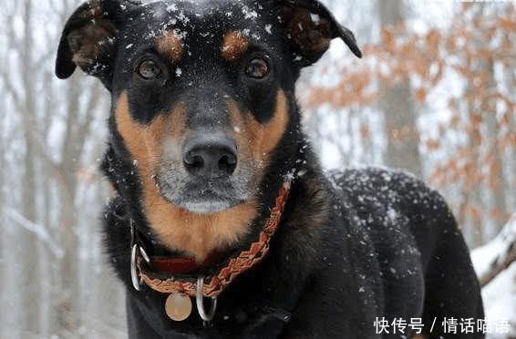 忧郁而高贵的气质非常吸引人的注意,杜宾犬则是极富智慧的并且身体