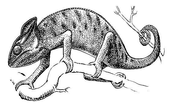 蜥蜴简笔画图片大全