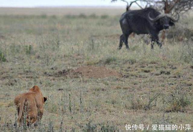 母狮小憩公牛上来就得意的挑衅,母狮冲过来的时候公牛肠子都青了
