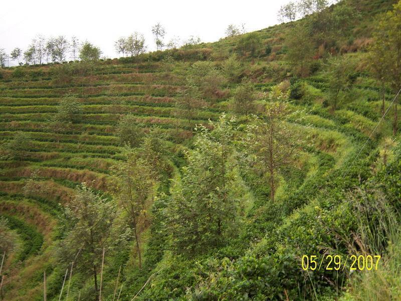 农村茶叶树图片