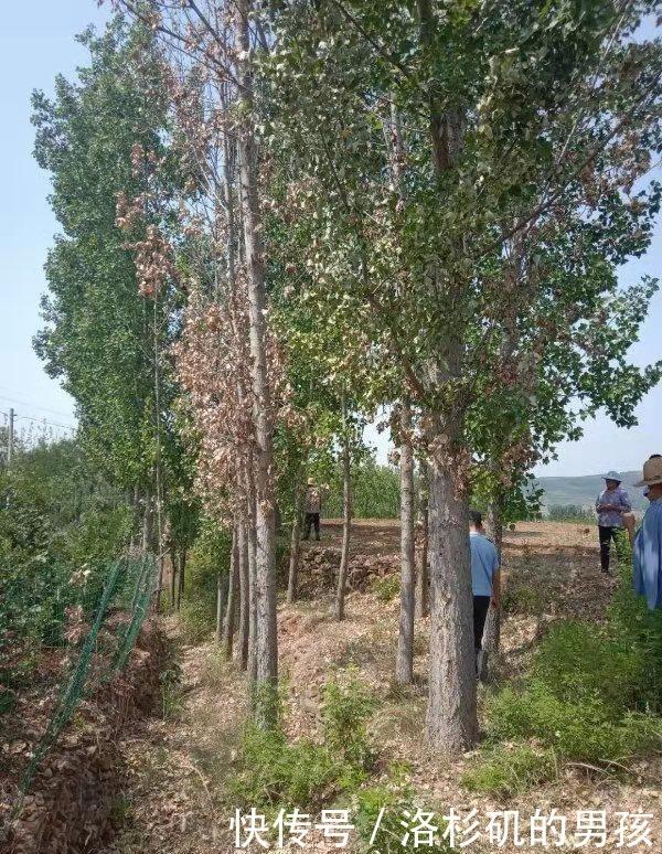 只因树木影响果园,临沂老汉竟买来农药将邻居家20余棵杨树毒死