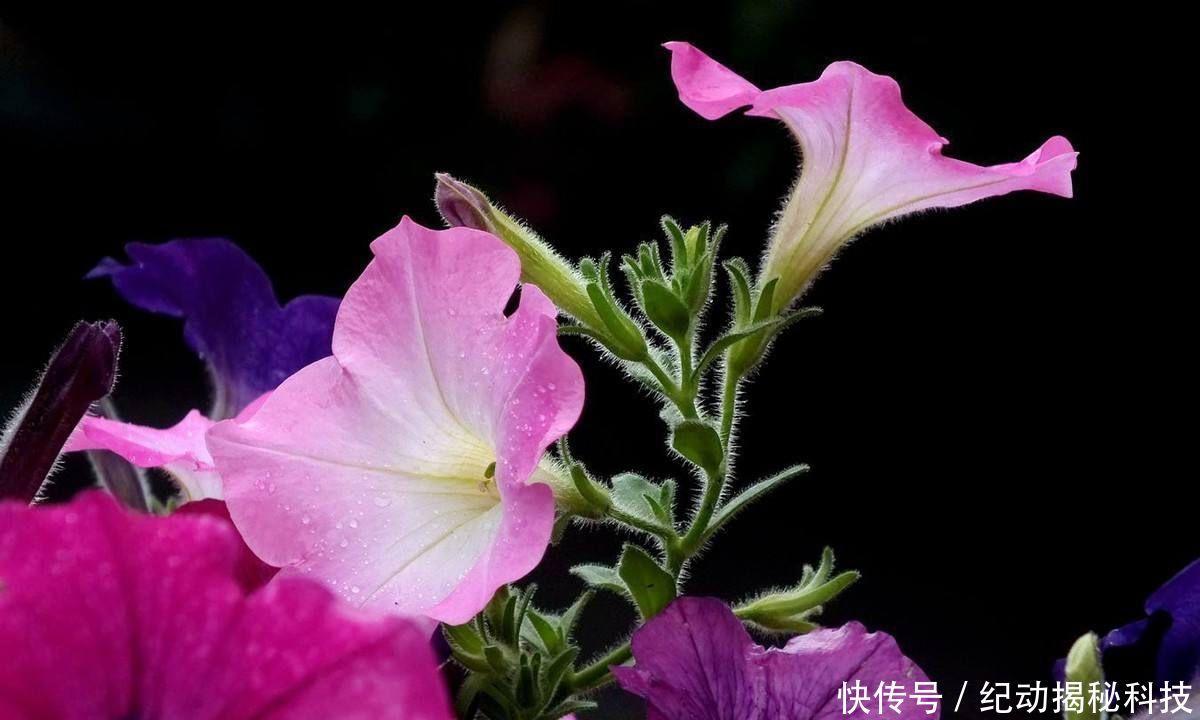 三种农村常见的花,南天竹、碧冬茄、牵牛,你见过几个?牵牛花肠管