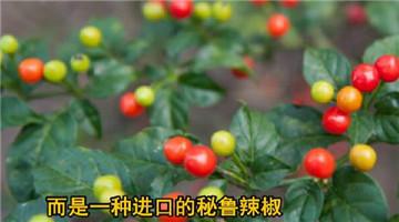辣椒树上长出了樱桃,一斤要价10多万元