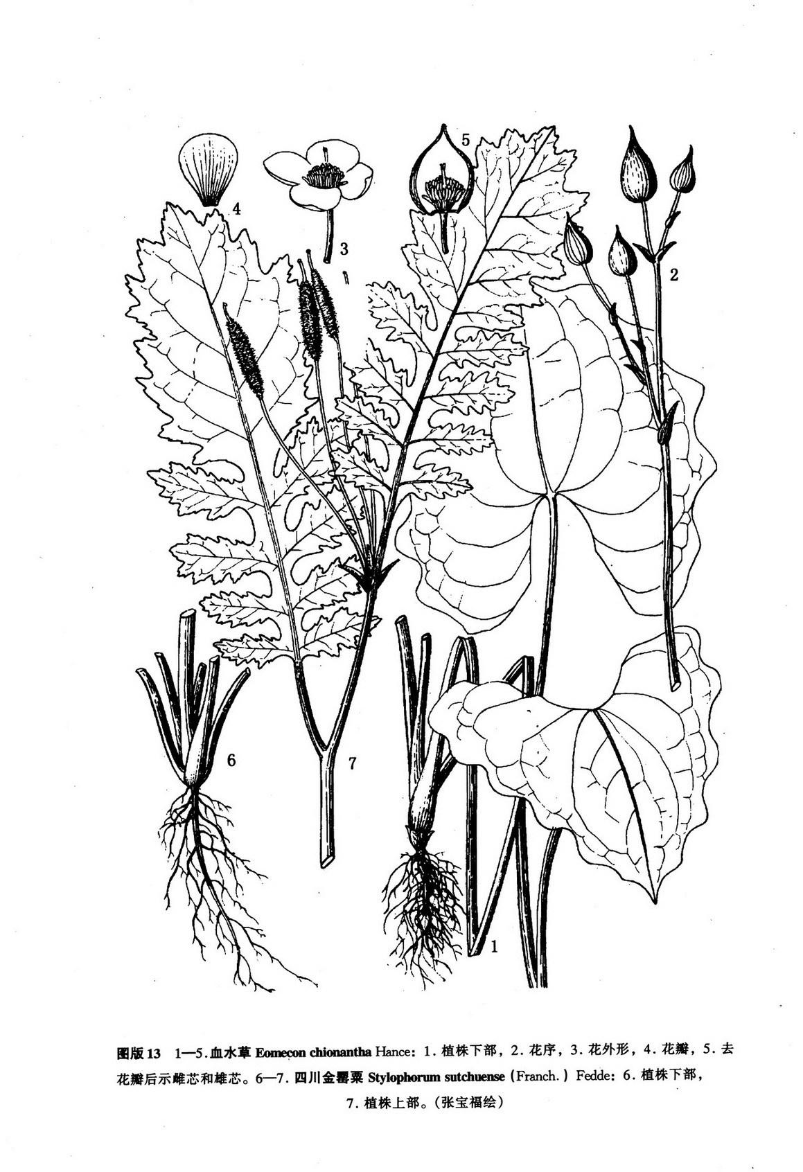 禁毒海报手绘图片罂粟