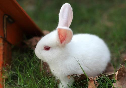 小白兔的样子-及第坊