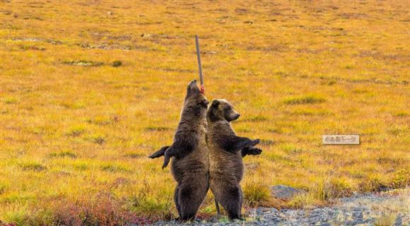 美洲棕熊背靠背挠痒痒 呆萌可爱